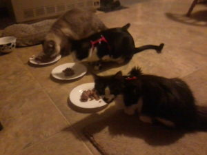 Chow time for 3 cats